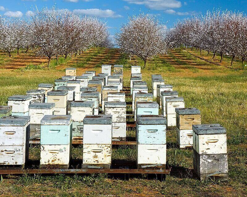 Bee rental prices for almond pollination soars